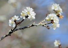 Prunus Cerasoides witka zdjęcia royalty free