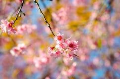 Prunus Chiang Mai Tajlandia Zdjęcie Stock