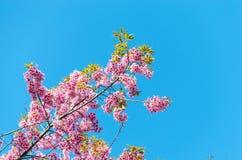 Prunus Royalty Free Stock Photos