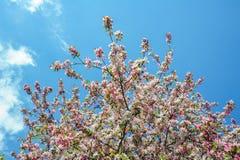 Prunus decorativo de florescência da flor de cerejeira - divaricata Imagens de Stock Royalty Free