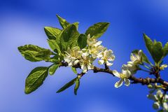 Prunus domestica Czar flowers. By beautiful day Royalty Free Stock Photography