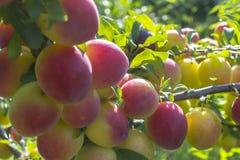 Prunus domestica rote reife Pflaume frischer organischer Früchte Stockbild
