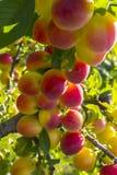 Prunus domestica rote reife Pflaume frischer organischer Früchte Lizenzfreies Stockbild