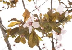 Prunus domestica in studio. Prunus domestica in front of white background royalty free stock images