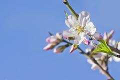Prunus dulcis (Almond flower) Stock Image