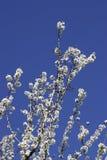 Prunus dulcis, flowering nonpareil almond tree bra Royalty Free Stock Photography