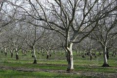 Prunus dulcis, flowering nonpareil almond tree bra Royalty Free Stock Photos