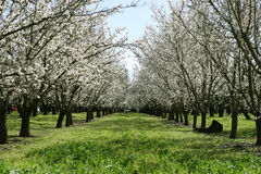 Prunus dulcis, flowering nonpareil almond tree bra Stock Photo