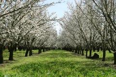 Prunus dulcis, flowering nonpareil almond tree bra Stock Photo