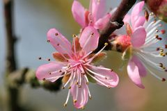 Prunus - flores rosadas Foto de archivo libre de regalías