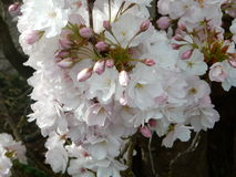 Prunus flower Stock Images