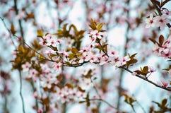 Prunus Flower. Prunus tree in my garden spring Stock Images