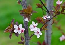 Prunus Flower. Prunus tree in my garden spring Stock Image
