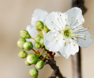 Prunus flowers Stock Photography