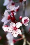 Prunus flowers stock photo