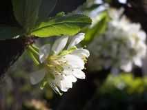 Prunus flowers Stock Photo