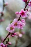 Prunus flowers Stock Image