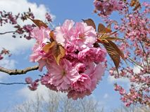 Prunus, Japanese cherry tree in spring Royalty Free Stock Image
