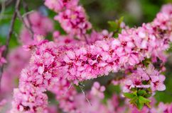 Prunus japonica Royalty Free Stock Images