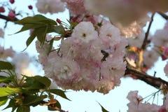 Prunus königlicher Burgunder Stockbild