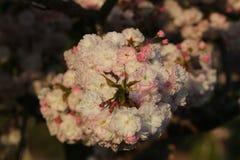 Prunus königlicher Burgunder Lizenzfreie Stockfotografie