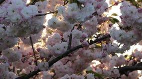 Prunus königlicher Burgunder Stockfotos