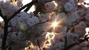Prunus königlicher Burgunder Lizenzfreies Stockbild
