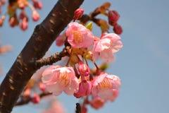 Prunus lannesiana Stockbilder
