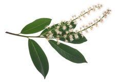 Prunus laurocerasus del lauro ceraso Fotografia Stock Libera da Diritti