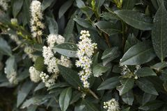 Free Prunus Laurocerasus Otto Luyken Royalty Free Stock Image - 155316876