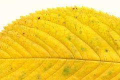 Prunus leaf on white Stock Image
