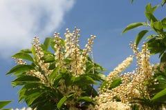 Prunus lusitanica mit Hintergrund des blauen Himmels stockfoto
