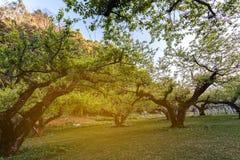 Prunus mume ή ιαπωνικός κήπος βερίκοκων στο doi angkhang σε Chian Στοκ φωτογραφία με δικαίωμα ελεύθερης χρήσης