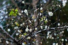 Prunus mume Blume auf Zweig Lizenzfreie Stockbilder