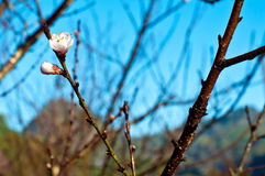 Prunus mume flower on branch Royalty Free Stock Image
