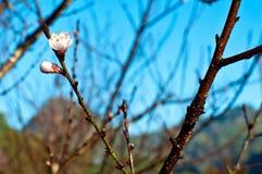 Prunus mume flower on branch Royalty Free Stock Image