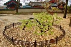 Prunus mume japanische Aprikose chinesischer Pflaume geschützt und suppor stockfotografie