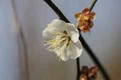 Prunus mume Stock Photography