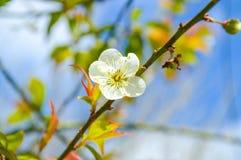Prunus mume okwitnięcia kwiat Fotografia Royalty Free