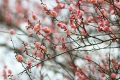 Prunus mume Stock Photos