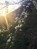 Prunus- oder Pflaumenbaum in der Sonne lizenzfreies stockfoto
