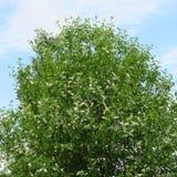 Prunus padus Fotografie Stock