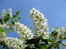 Prunus padus Royalty Free Stock Photos
