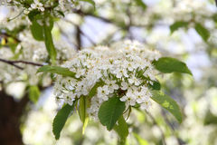 Prunus padus(Bird Cherry) blossoming Royalty Free Stock Photography