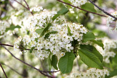 Prunus padus(Bird Cherry) blossoming in spring. Prunus padus(Bird Cherry) blossoming Royalty Free Stock Images