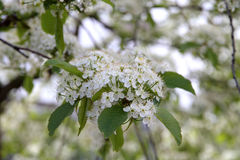 Prunus padus(Bird Cherry) blossoming in spring Stock Photography