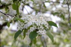 Prunus padus(Bird Cherry) blossoming in spring Stock Photography