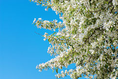 Prunus padus blossom. Over blue sky with copy-space Stock Images