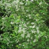 Prunus padus czarna wiśnia, także nazwany wczesny kwiecenie lub Europejska ptasia wiśnia, jesteśmy miejscowego gemowymi drewnami  Obraz Royalty Free