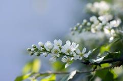 Prunus padus czereśniowego drzewa ptasi kwitnienie podczas wiosny, grupy mali biali kwiaty i zieleni, opuszcza na gałąź Obraz Stock